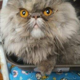 Кошки - Янтарина, кошечка перс, 0