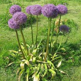 Семена - Лук Гигантский декоративный семена ПОЧТОЙ и самовывозом, 0