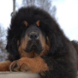 Собаки - Щенки Тибетского Мастифа , 0
