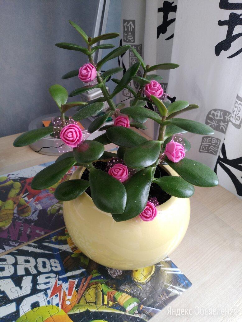Денежное дерево  по цене 1000₽ - Комнатные растения, фото 0