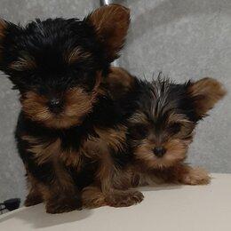 Собаки - Щенки мини йорка, 0