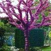 Семена Иудина дерева 20 шт. по цене 200₽ - Семена, фото 0