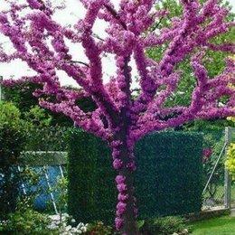 Семена - Семена Иудина дерева 20 шт., 0
