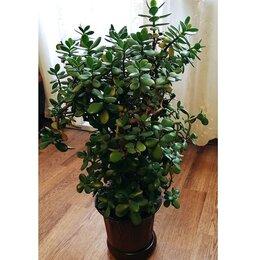 Комнатные растения - Денежное дерево, Толстянка, 0