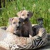 Щенки породы прайтер  по цене 70000₽ - Собаки, фото 2