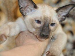 Кошки - Ориентальные котята, 0