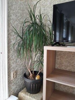 Комнатные растения - Драцена Маргината , 0