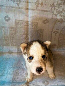 Собаки - Щенки Хаски , 0