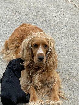 Собаки - Английский кокер-спаниель , 0