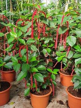 Комнатные растения - Акалифа Хиспида D-45 H-200 , 0