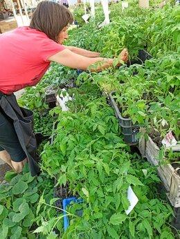 Рассада, саженцы, кустарники, деревья - Рассада помидоры/томатов ОПТОМ, 0