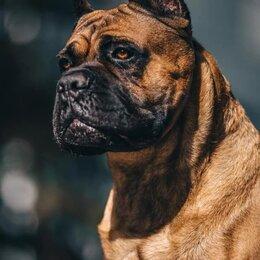 Собаки - щенки итальянского кане корсо  из питомника., 0