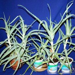 Комнатные растения - Алоэ столетник (высота ростков от 15 до 22 см), 0