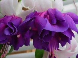 Комнатные растения - Фуксии и кальцеолярии, 0