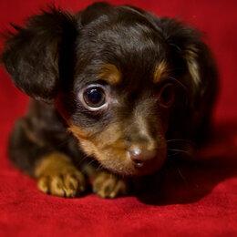 Собаки - Той терьера щенки гладкошёрстные и длинношёрстные , 0