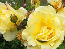 Рассада, саженцы, кустарники, деревья - Казино. Роза плетистая, 0