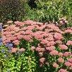 Очиток видный, седум,  многолетник. Цветы, рассада, саженцы. по цене не указана - Рассада, саженцы, кустарники, деревья, фото 8