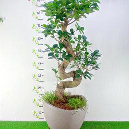 Комнатные растения - Большой Бонсай, 0