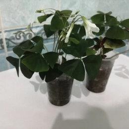Комнатные растения - Кислица комнатная, 0