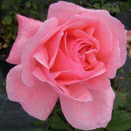 Рассада, саженцы, кустарники, деревья - Роза флорибунда Квин Элизабет, 0