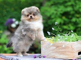 Собаки - Померанский шпиц, 0