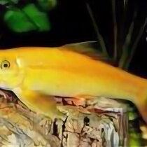 Аквариумные рыбки - Гиринохейлус золотой, 0