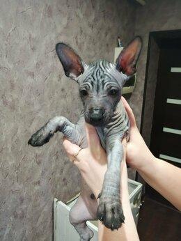 Собаки - Продаются щенки ксолоитцкуинтли , 0