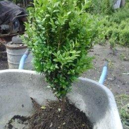Рассада, саженцы, кустарники, деревья - Самшит растения, 0