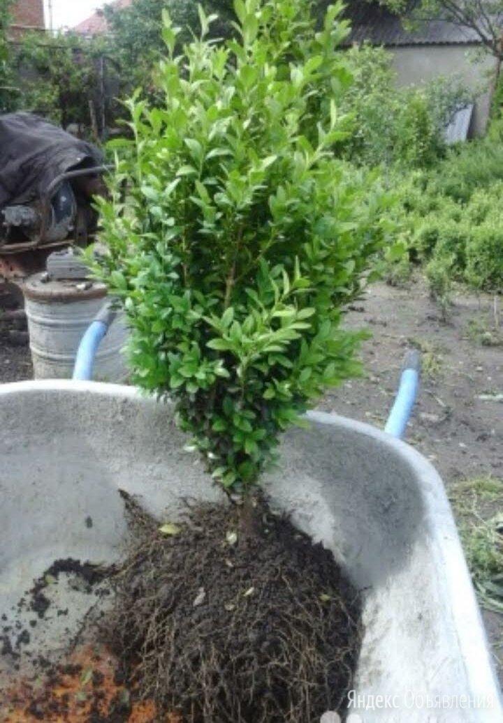 Самшит растения по цене даром - Рассада, саженцы, кустарники, деревья, фото 0