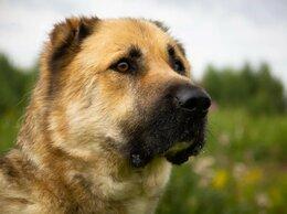Собаки - САМИР - алабай в дар, 0