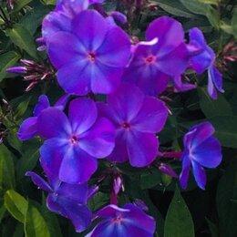 Рассада, саженцы, кустарники, деревья - Флокс сиренево-фиолетовый, 0
