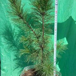 Рассада, саженцы, кустарники, деревья - Сибирский кедр (pinus sibirica), 0