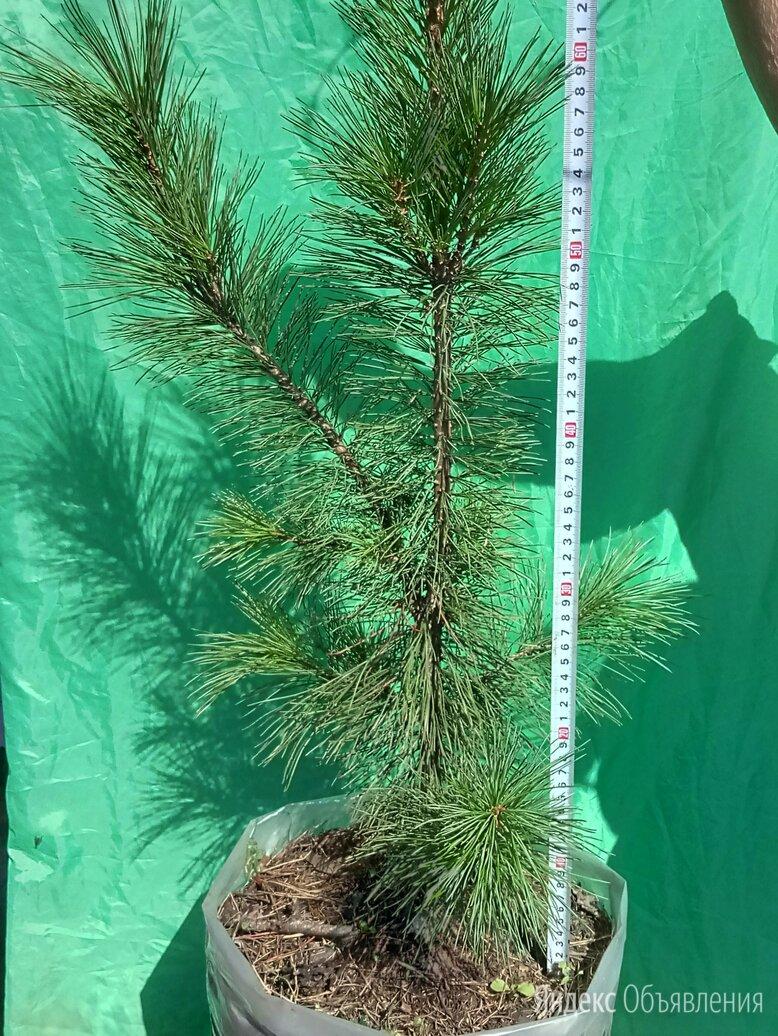 Сибирский кедр (pinus sibirica) по цене 20000₽ - Рассада, саженцы, кустарники, деревья, фото 0