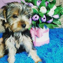 Собаки - Йоркширский терьер щенки, 0
