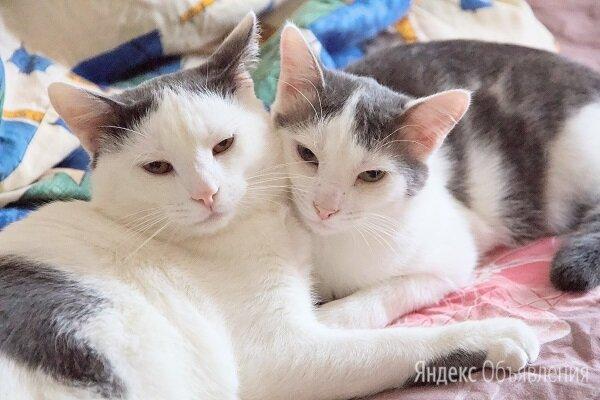 Два ласковых братика акробатика ищут свободные коленки для обнимашек по цене даром - Кошки, фото 0