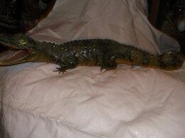 Рога, шкуры, чучела животных - крокодил чучело винтаж, 0