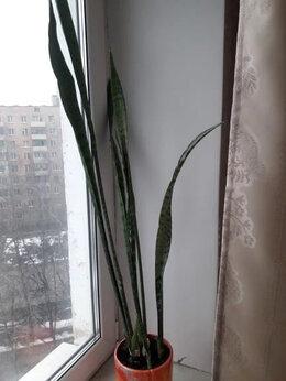Комнатные растения - Сансивиерия (тёщин язык, индийский меч или щучий…, 0