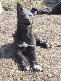 Собаки - Веселая щенулька в добрые руки, 0