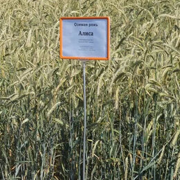 Семена - Продам семена озимая рожь - сорт АЛИСА, 0