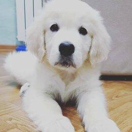 Собаки - Продаже золотистого ретривера, 0