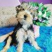 Йоркширский терьер щенки по цене 20000₽ - Собаки, фото 1