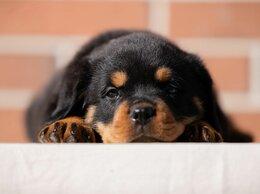 Собаки - Щенки ротвейлера, 0