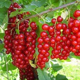 Рассада, саженцы, кустарники, деревья - Красная смородина десертных сортов , 0