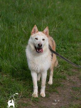 Собаки - Собака Белочка в добрые руки, 0
