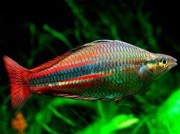 Аквариумные рыбки - Меланотения радужница северная, 0
