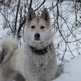 Собаки - продаю щенков восточносибирской лайки, 0