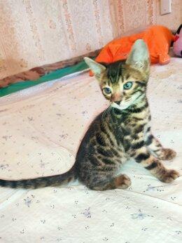 Кошки - Котята бенгалов от крупных родителей, 0