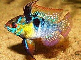 Аквариумные рыбки - Папиллохромис рамирези, 0