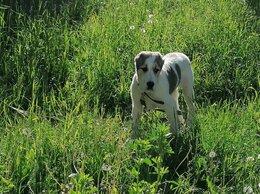 Собаки - Продаются щенки сао (алабай)., 0