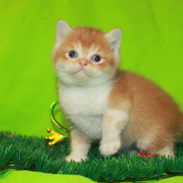 Кошки -  Красный биколор, 0